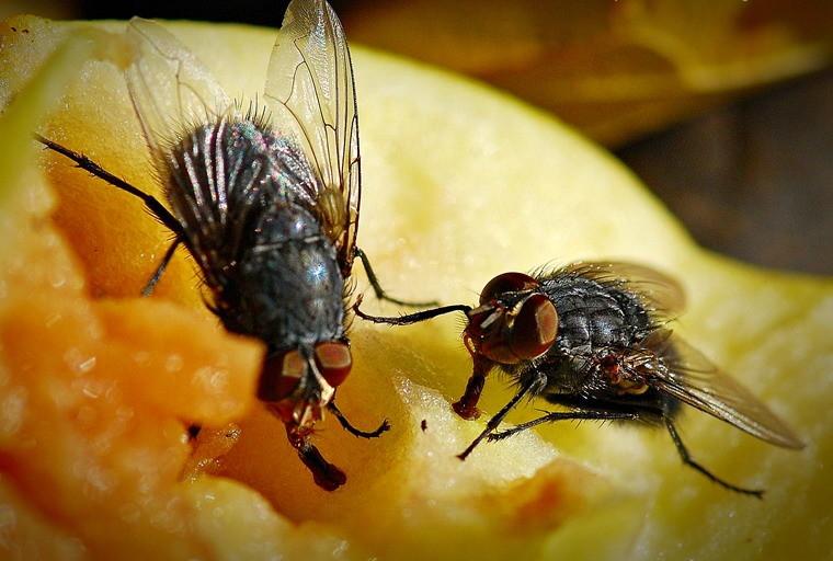 Дынная муха — википедия. что такое дынная муха