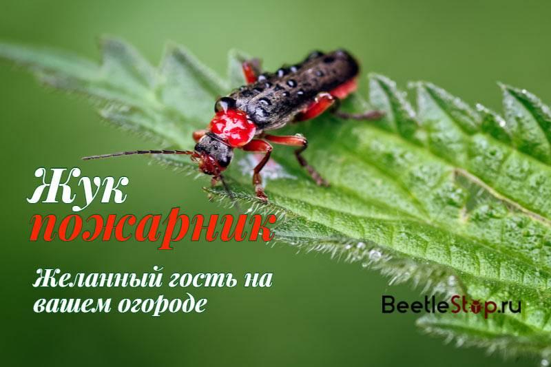 Жук пожарник. образ жизни и среда обитания жука пожарника   живность.ру