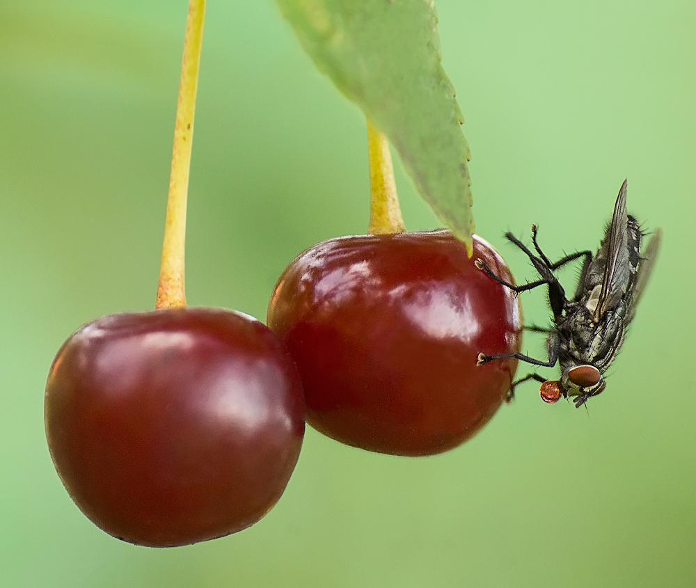 Как избавиться от муравьев на вишне и черешне, эффективные способы борьбы