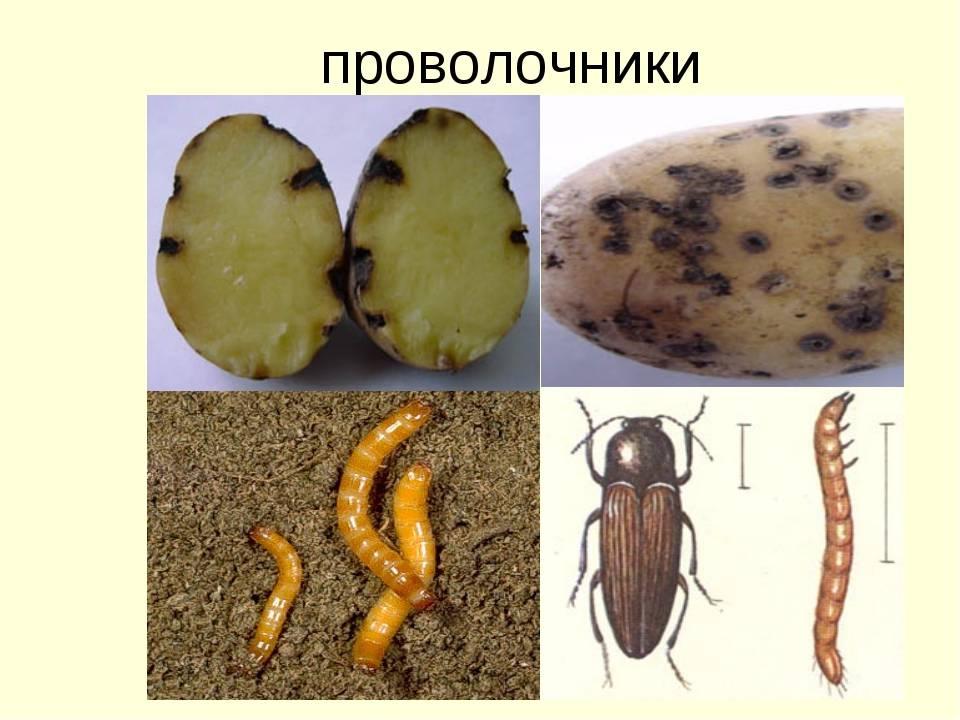 Как лечить и бороться с болезнями и вредителями картофеля, фото