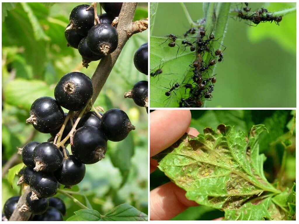 Как бороться с тлей и муравьями на смородине: обработка, опрыскивание, народные средства