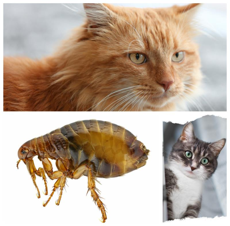 Как вывести блох у кошек народными средствами? 17 средств эффективных средств и способов вывести блох у кошки без химикатов