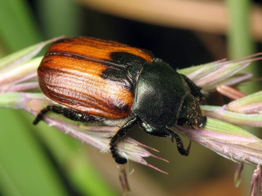 Хлебный жук кузька - угроза урожаю зерновых культур