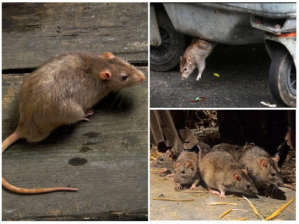 Какие болезни переносят мыши, пути передачи инфекций 2020