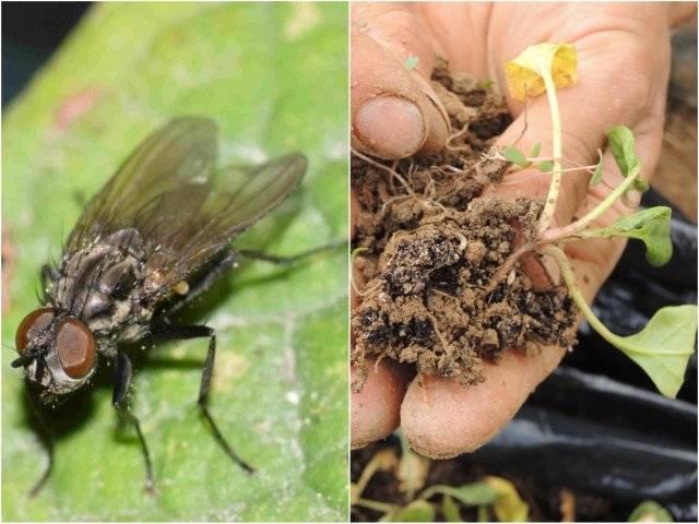 Капустная муха - методы борьбы с ней. личинки, фото мухи, и народные средства