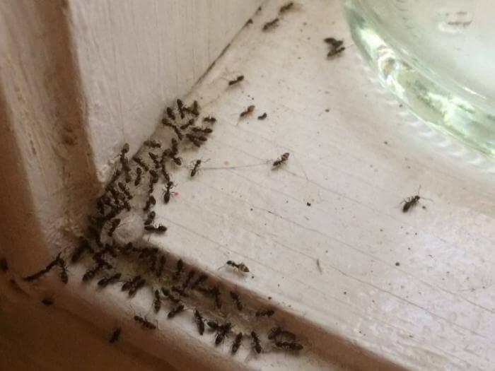 Чего боятся муравьи в доме и квартире, какой запах отпугивает