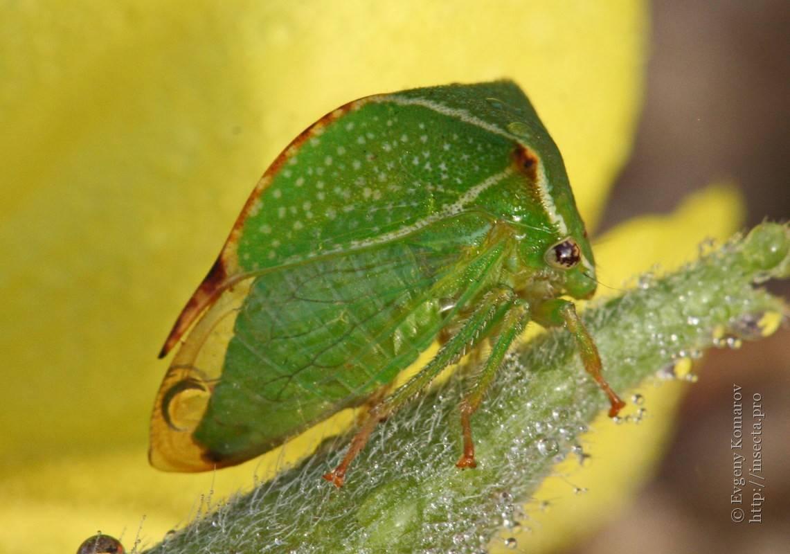 Необычные насекомые: micronecta scholtzi, лилипуты среди ос, бодушка бизонья, гигантский уэта, суринамская фонарница