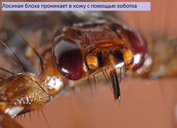 Лосиные вши — что это, чем они опасны для человека и как защититься (с фото)