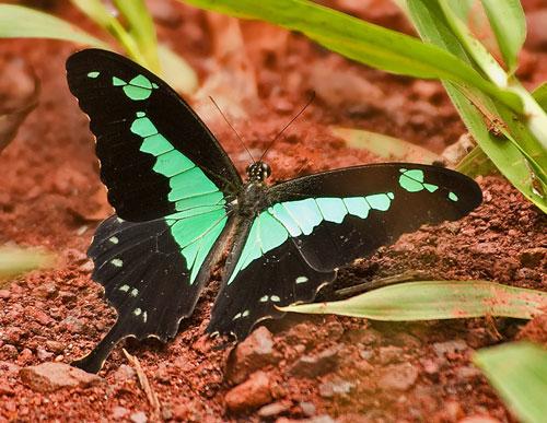 Морфо дидиус: фото, образ жизни и развитие самой красивой бабочки тропического леса