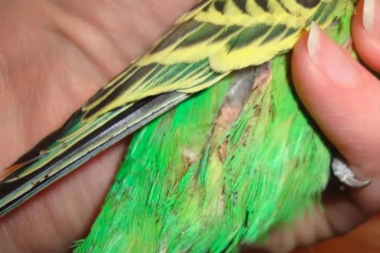 Распространённые болезни попугаев, симптомы, методы лечения