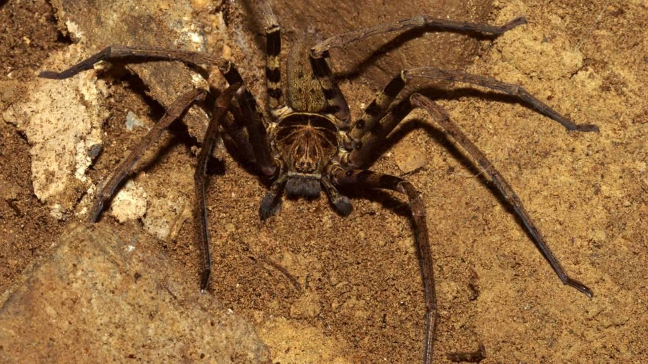 Гигантский крабовый паук – фото и описание