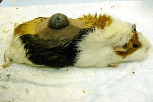 Власоеды у морских свинок: как выглядят и чем опасны, признаки заражения, передаются ли человеку