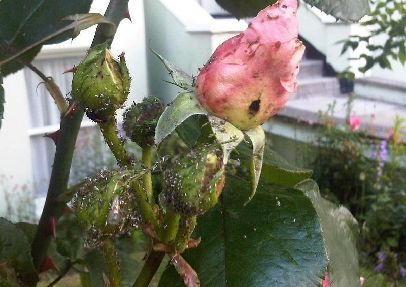 Тля на розах: чем обработать цветы?