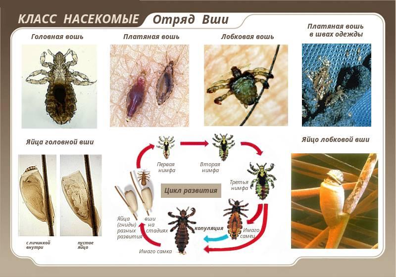 Вши – описание, виды, фото, откуда берутся и как избавиться