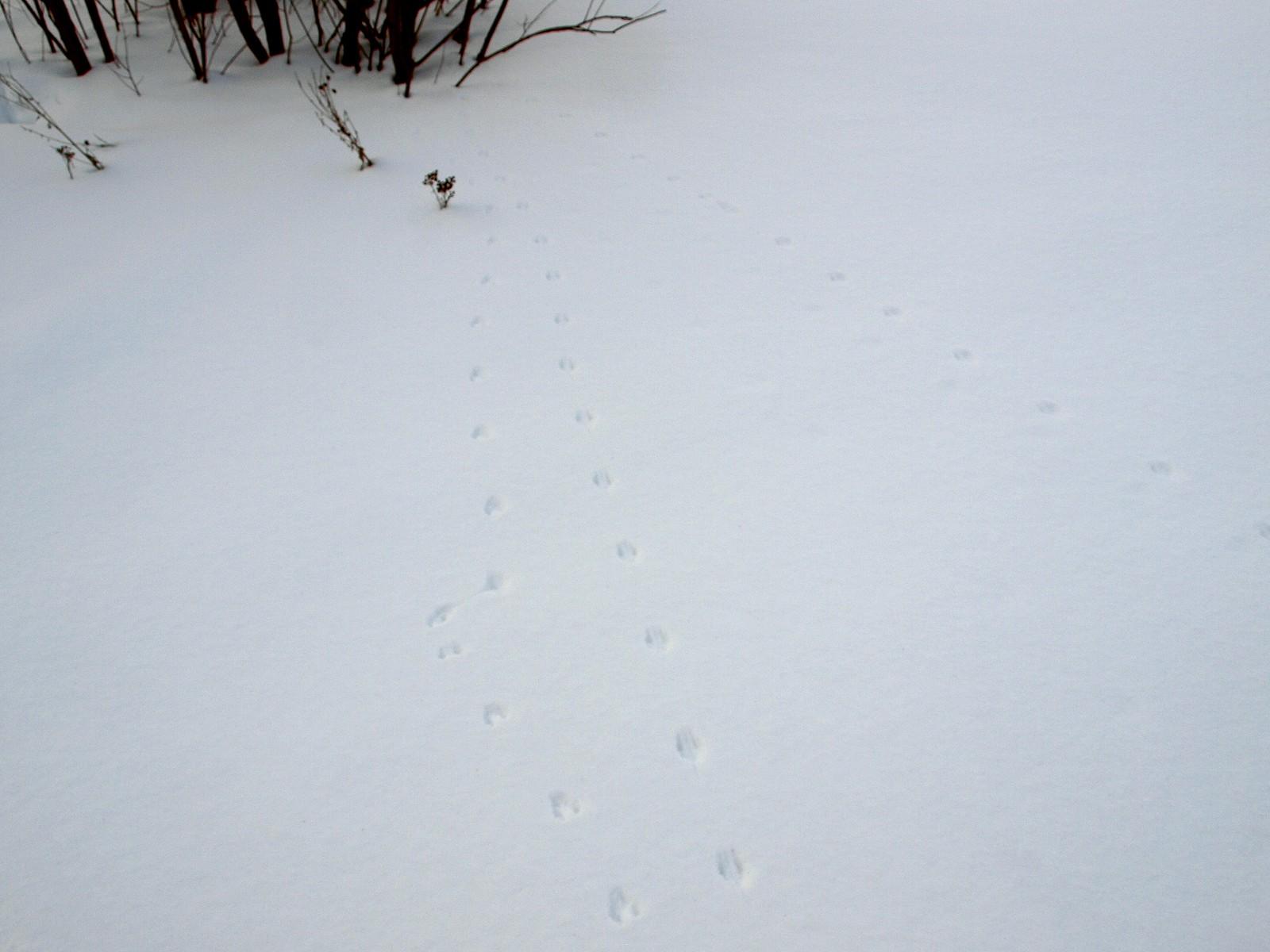 Следы мышей на снегу - сорнякам нет