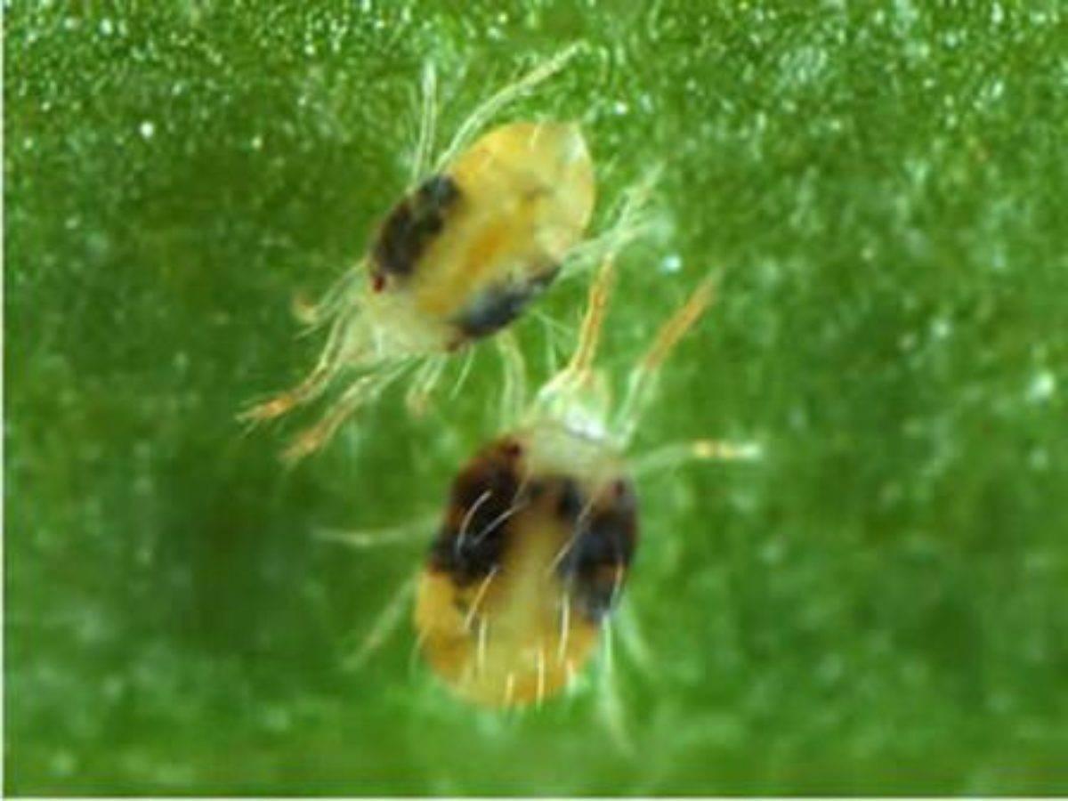 Чем обработать теплицу от паутинного клеща весной?