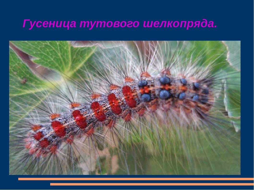 Гусеница павлиний глаз