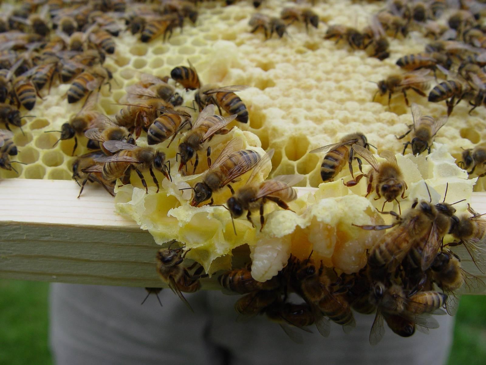Как избавиться от муравьев на пасеке? - пчеловодство — опасеке