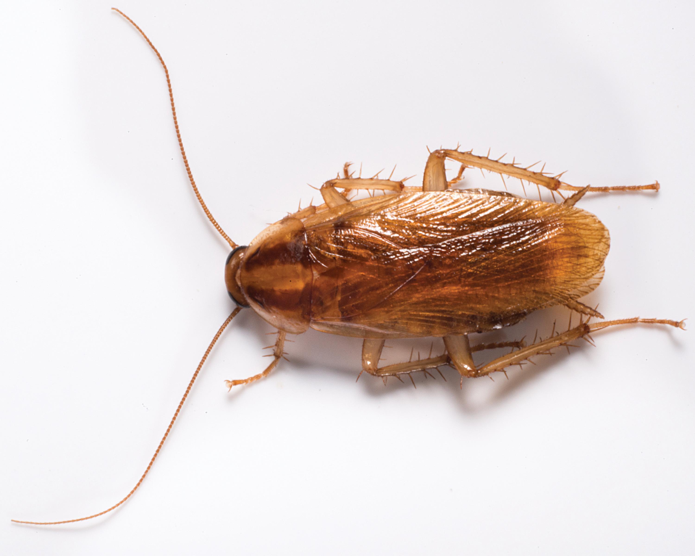 """Тараканы """"стасики"""" – почему так называют в народе,  как выглядят и и как избавиться  от них в доме"""