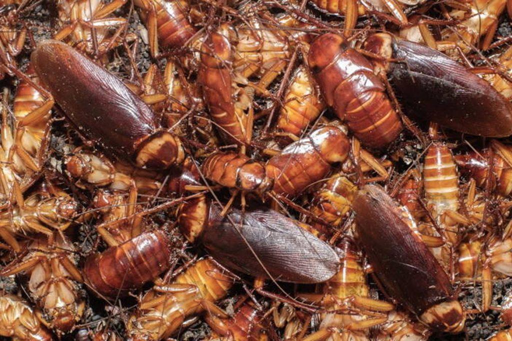 При какой температуре умирают тараканы?