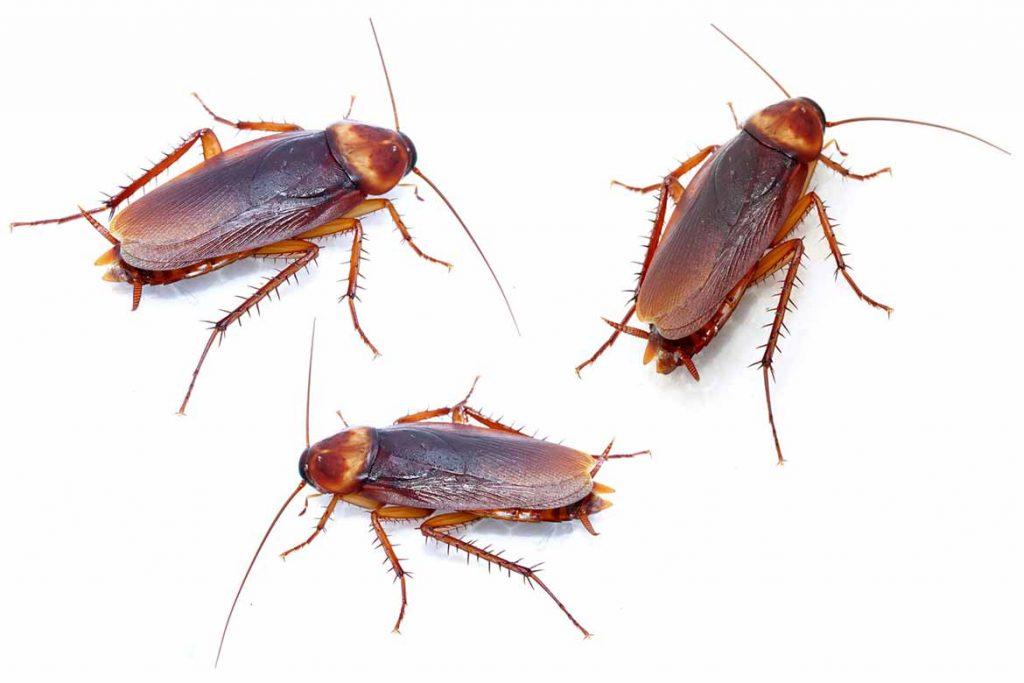 Чёрный таракан насекомое. описание, особенности, виды, образ жизни и среда обитания таракана   живность.ру
