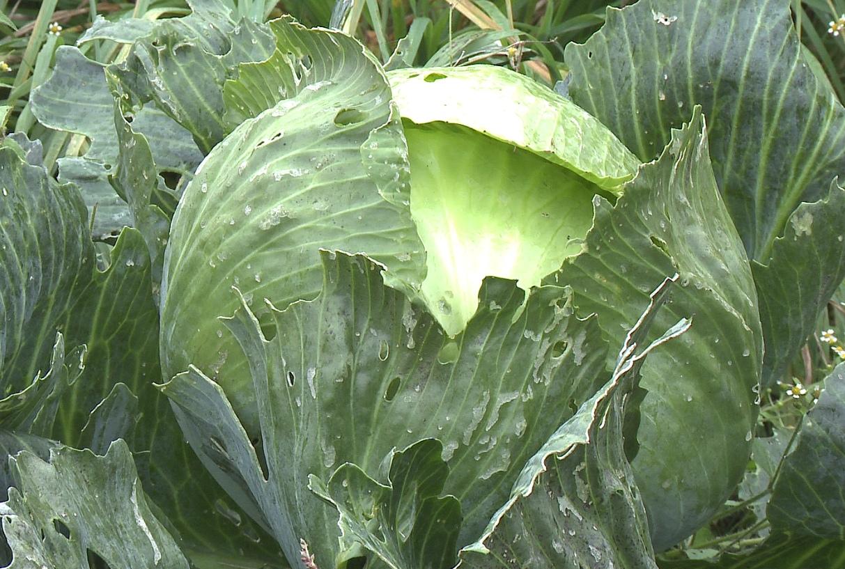 Совка вредитель огородов: фото, описание