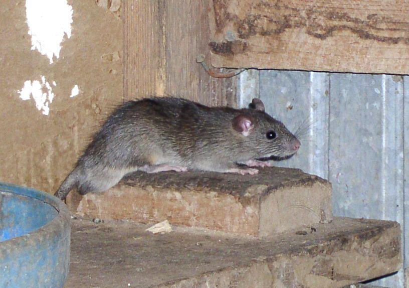 Как избавиться от крыс в курятнике: основные способы борьбы и нехитрые советы