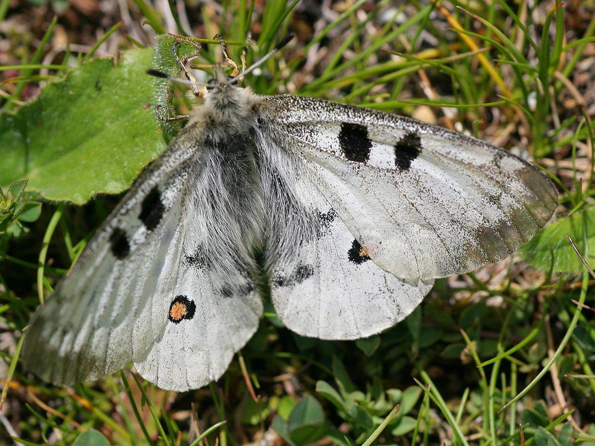 Бабочка аполлон - одна из самых красивых и любимых бабочек в европе