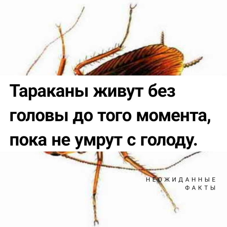 Сколько живет таракан без головы и может ли он вообще так жить?