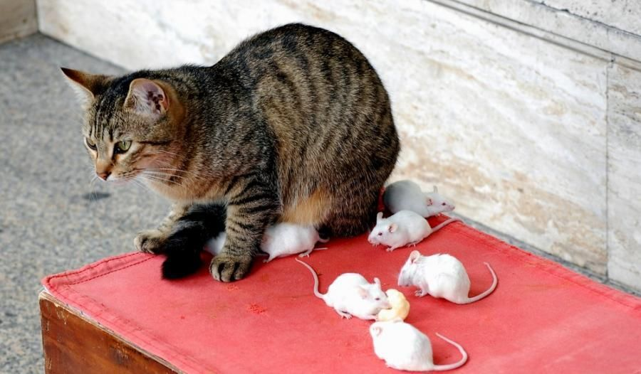 Примеры пород котов которые ловят крыс и мышей: варианты как определить охотника