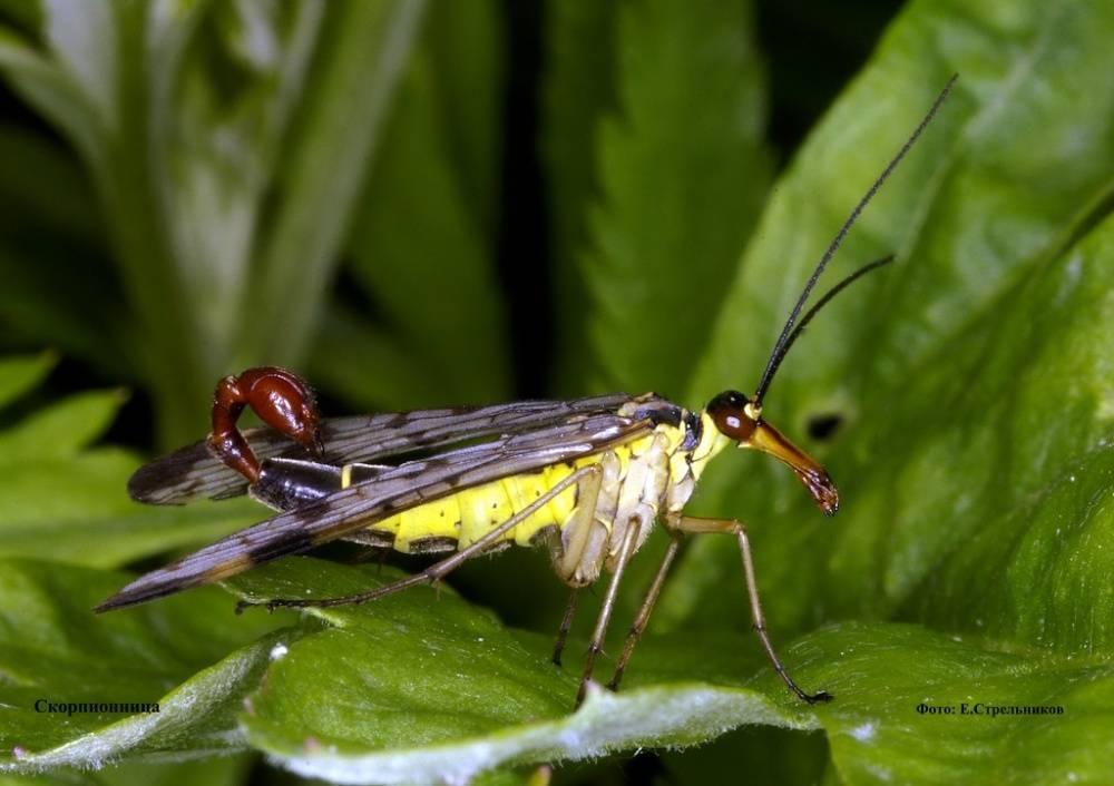 Скорпионница муха насекомое. описание, особенности, образ жизни и среда обитания скорпионницы   живность.ру