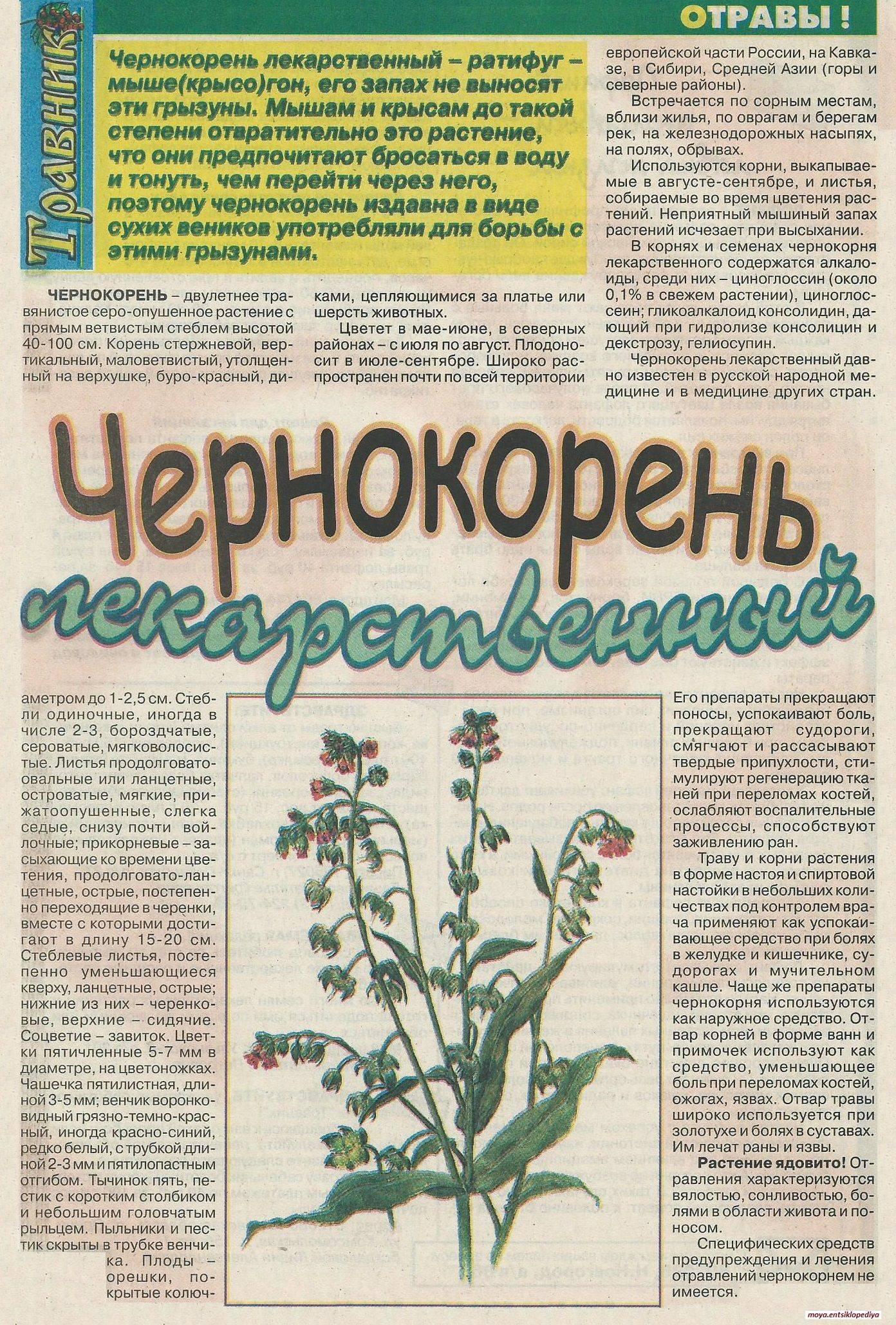 Лекарственный чернокорень: описание, лечебные свойства и вред, применение растения