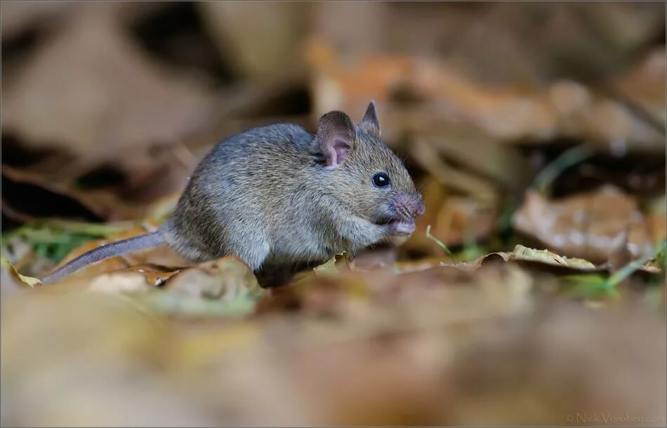 Мышь домовая   мир животных и растений