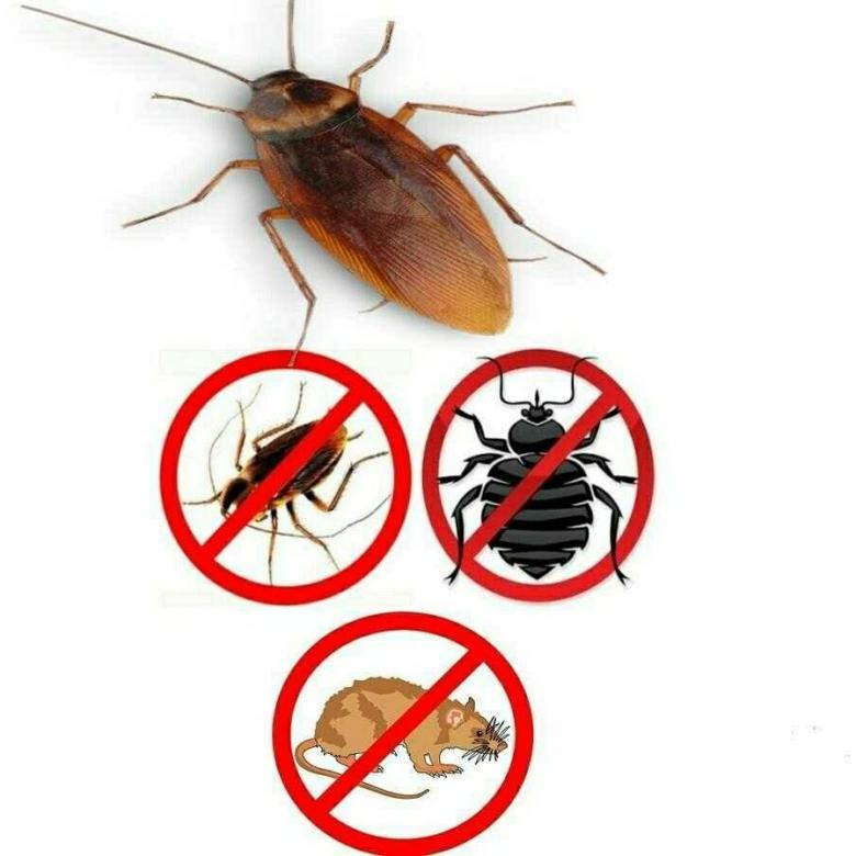 Правда ли что тараканы поедают клопов и их яйца?