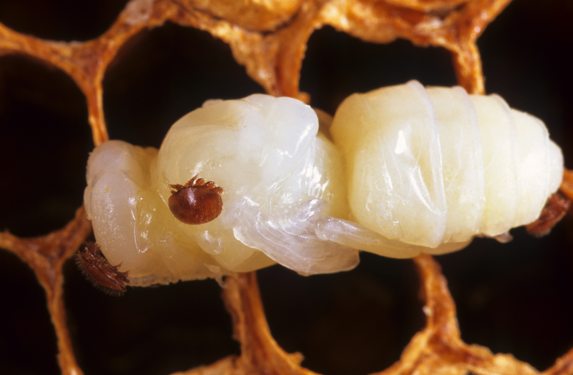 Способы обработки пчел от клеща, когда и чем лучше обрабатывать. эффективные методы обработки пчел от клеща