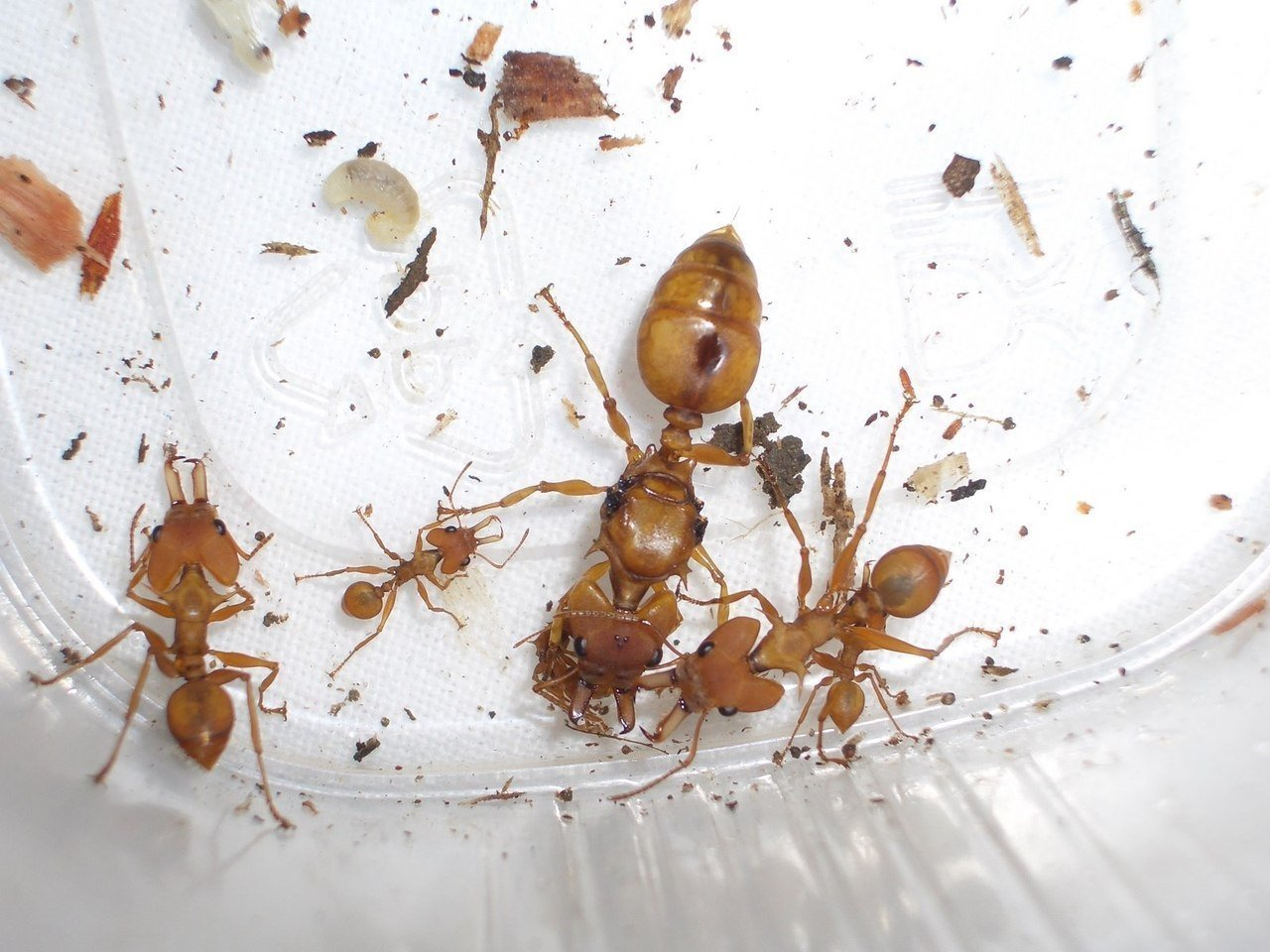 Рыжие муравьи в квартире: как избавиться?