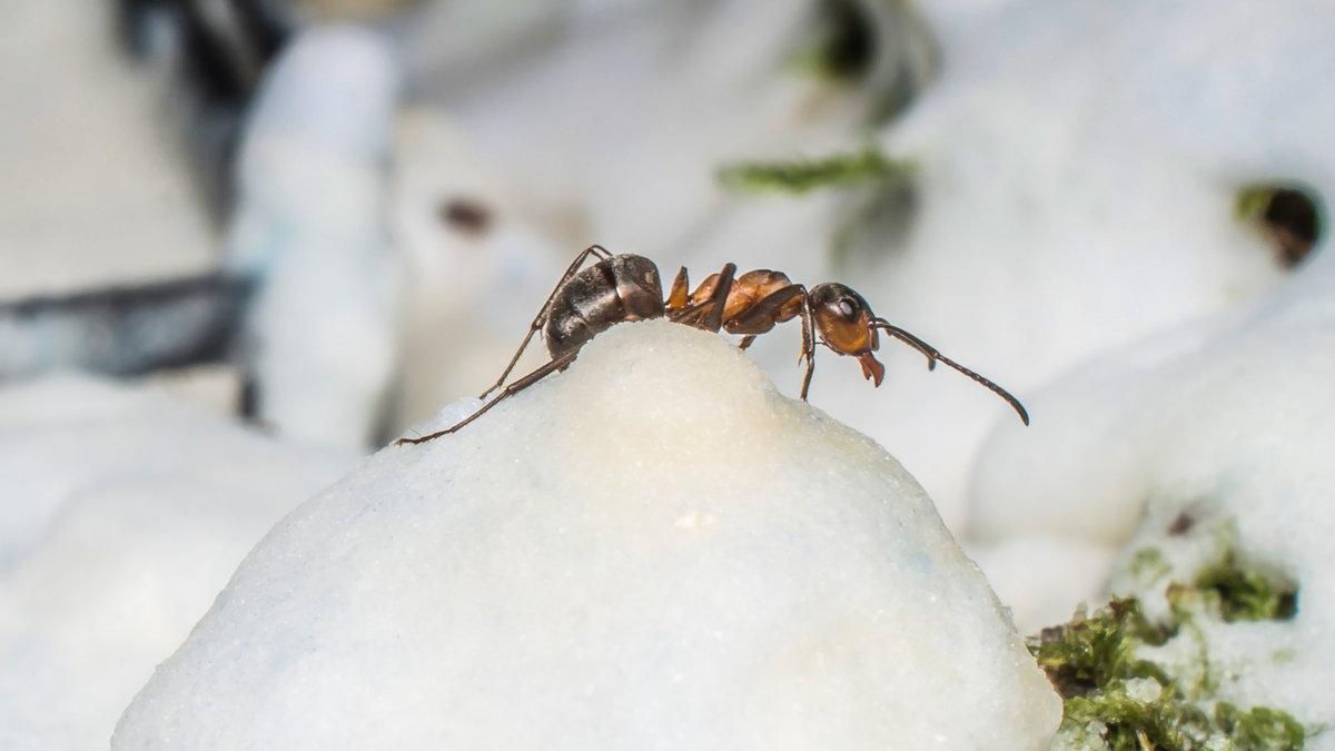 Как зимуют муравьи к как готовятся к зиме?