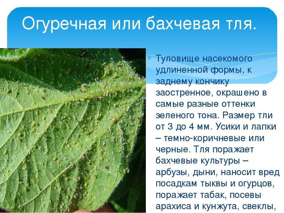 Тля на растениях - как решить проблему c вредителями | lectrava