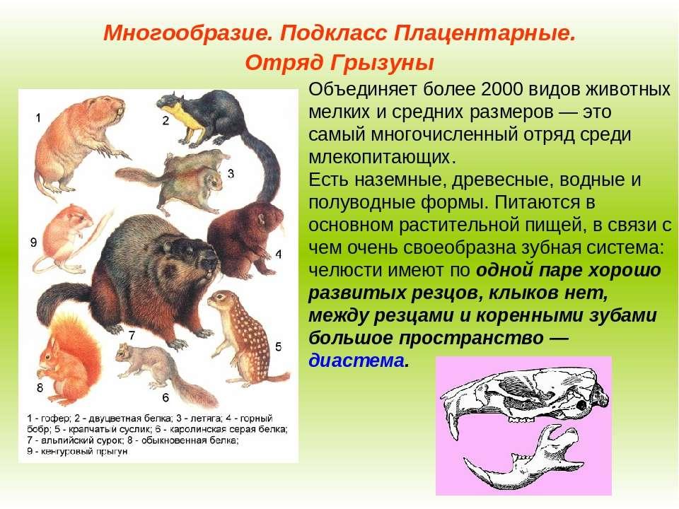Анатомия крысы: внутреннее строение органов, особенности скелета и занимательные факты - люблю хомяков