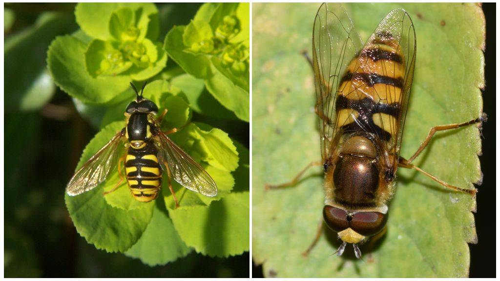 Журчалка – муха журчалка, описание. журчалка – самая необыкновенная муха муха журчалка среда обитания