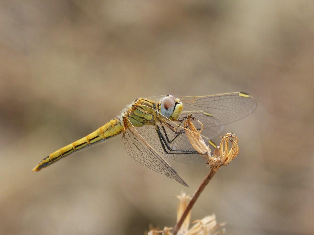 Стрекоза – описание, виды, чем питается, где обитает, фото, видео