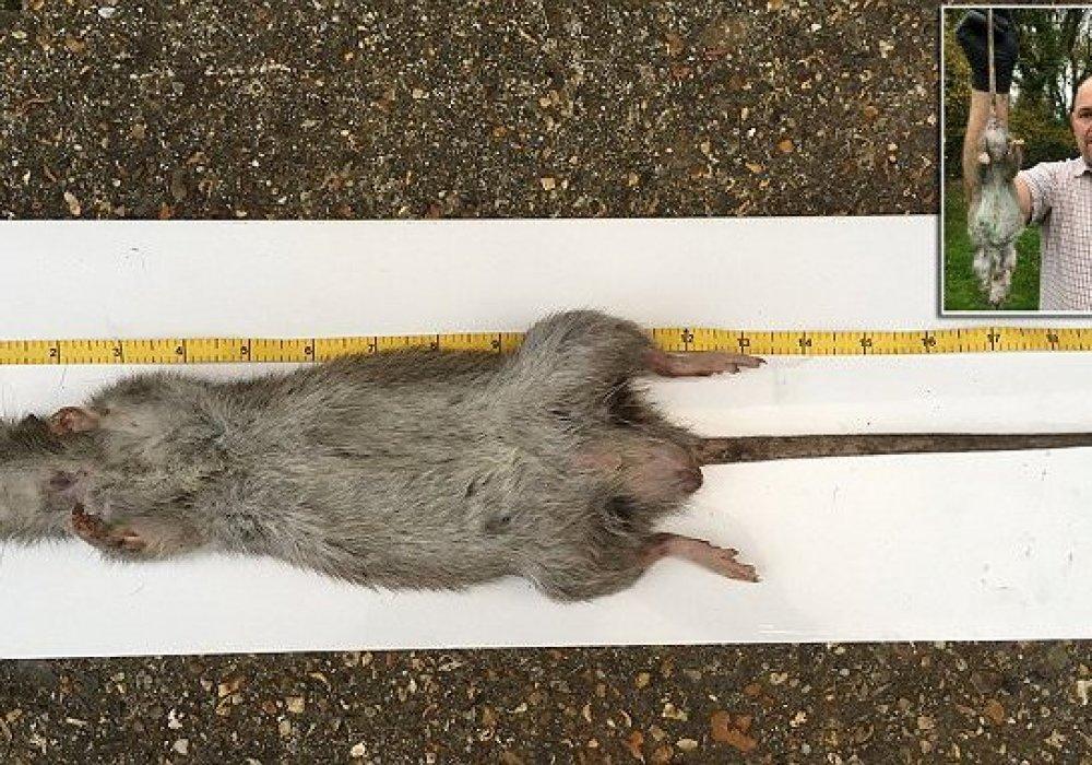 Сколько весит самая большая крыса и каковы ее размеры?