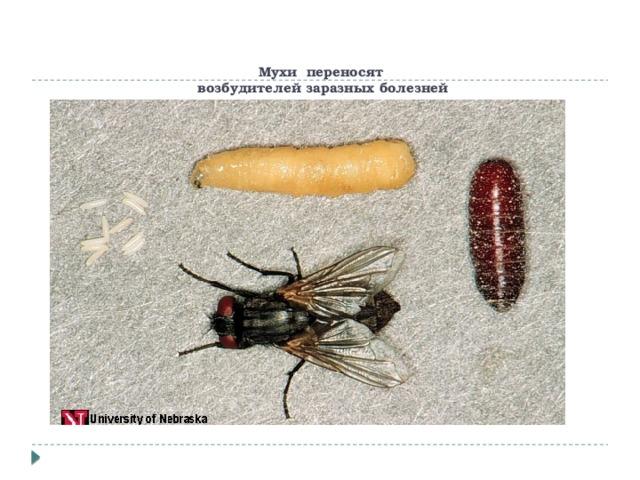 Миаз у человека — болезнь вызванная личинками мух. насколько опасны для человека миазы? мухи – переносчики инфекций