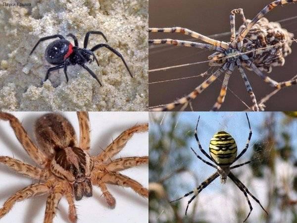 Пауки крыма – подборка фото самых интересных и опасных паукообразных. опасные животные и насекомые в крыму