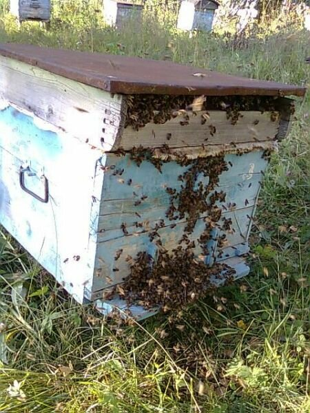Учебник пчеловода. паразиты пчелиной семьи и хищники пчел