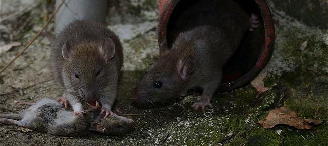 Кто ест мышей из животных в дикой природе