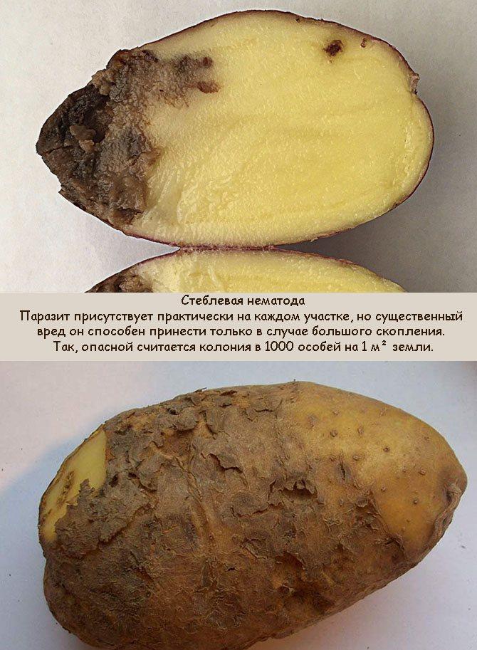 Как правильно бороться с нематодой картофеля