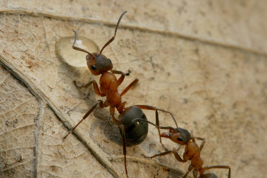 Рыжий лесной муравей — википедия. что такое рыжий лесной муравей
