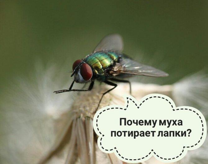 Почему мухи трут свои лапки друг о друга?