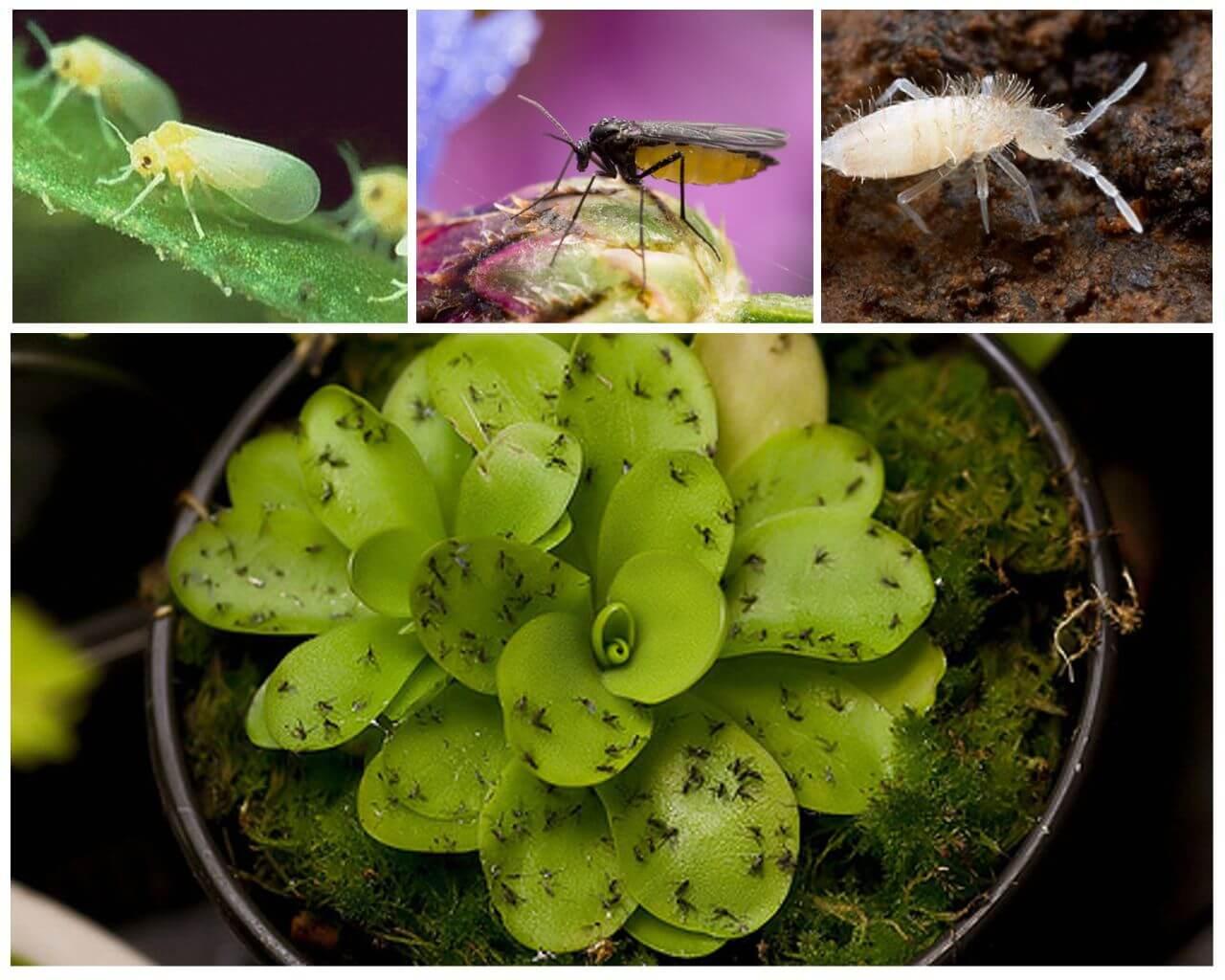 Подуры ногохвостки фото насекомое как избавиться